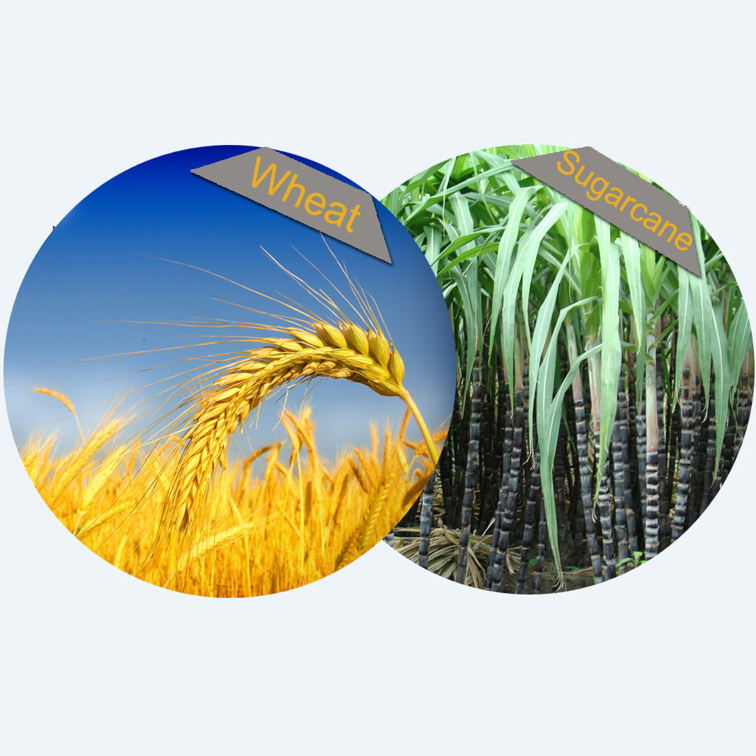 GREENWEIMO Product Biodegradable Bagasse or Wheat Straw Material